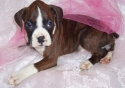 Intelligent and Lovely Boxer puppies for sale.