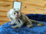 Nice Little Capuchin marmoset Babies