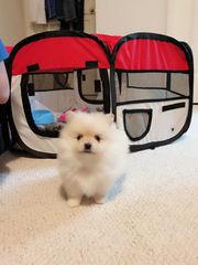 Amazing Xx Pomeranian for sale