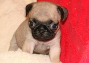 Fawn & Black Pug Puppies