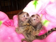 4C Adorable Twin Pygmy Marmoset and Capuchin 07031957695