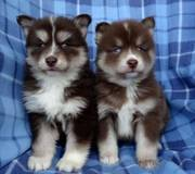 HGSD checked friendly,  and sociable Pomsky For Sale 07031957695