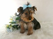 adorable yorkshire for sell