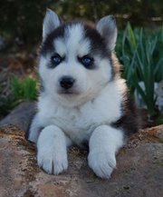 husky very playful and on market to any good person.