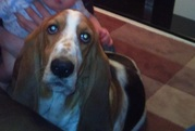 Basset hound pup - great wee family dog