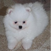 Cute and adorable maltese puppy ready for adoption