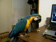 X-mass blue and gold macaws for adoption